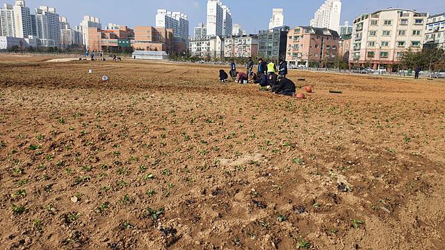 0316 계양구, 새봄맞이 유채 ․ 가로변 초화식재 새 단장.jpg